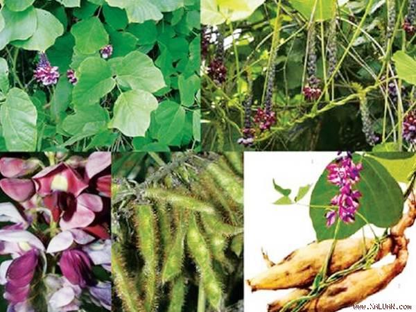Hầu hết các bộ phận của cây sắn dây đều được dùng làm thuốc chữa bệnh.