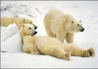 Funny Polar Bear Parody photo