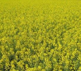RapeSeeds Yellow flowers