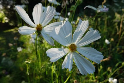 Marguerites: point manuel.