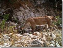 Llama CONANP a proteger felinos en ANP de Tonalá