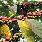 Urgente renovar cafetos en la Mixteca para erradicar roya: SEDAPA