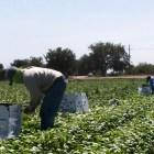 Migración por falta de empleos y compromisos gubernamentales con los pueblos mixtecos: Jornaleros agrícolas