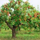 Se impulsa la recuperación de árboles frutales a través de la poda: UACH