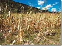 Suman más de 11 mil hectáreas de granos básicos siniestradas en la Mixteca