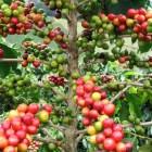 Crisis climática afecta cultivos de café en San Pedro Yosotatu