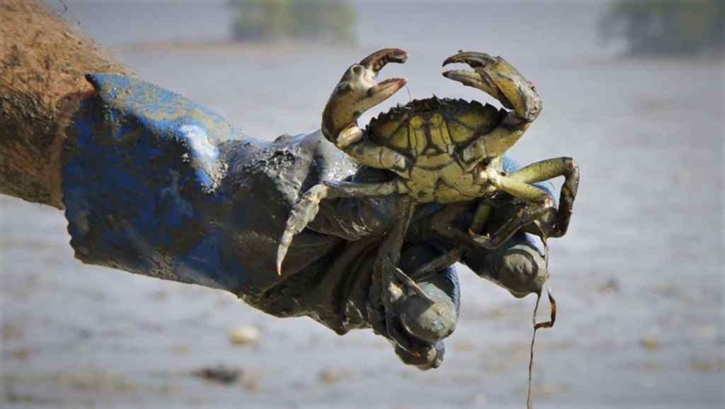Training to Identify Invasive and Devastating Green Crab