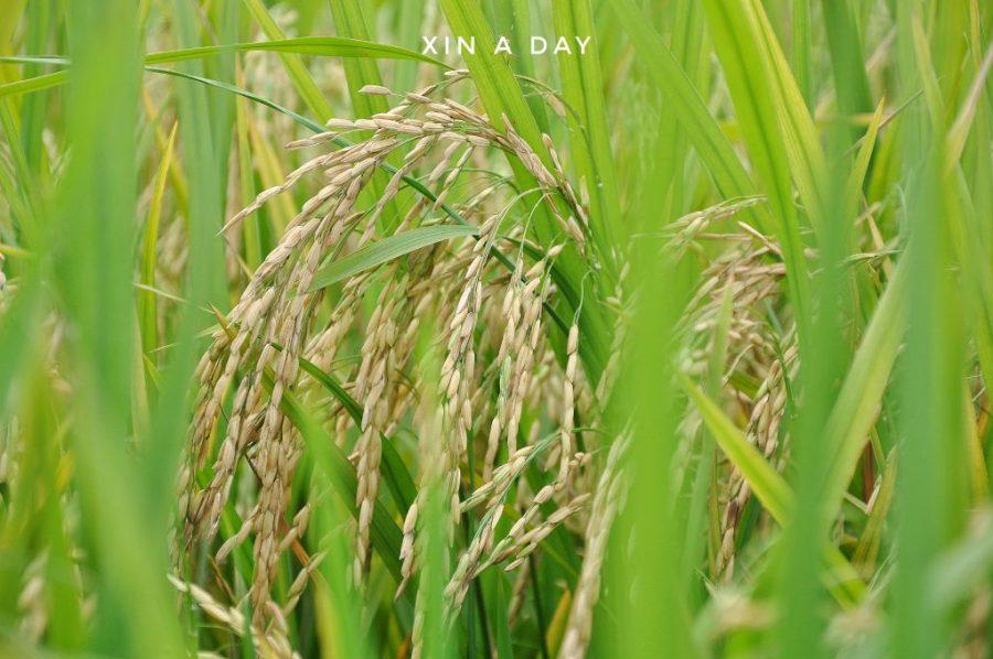 ❤ 适耕庄金黄色稻米田 (Sekinchan Paddy Field) ❤