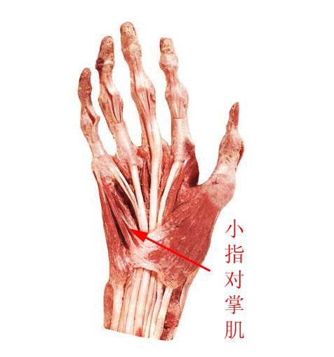 人體手肌解剖示意圖-人體解剖圖._醫學圖庫