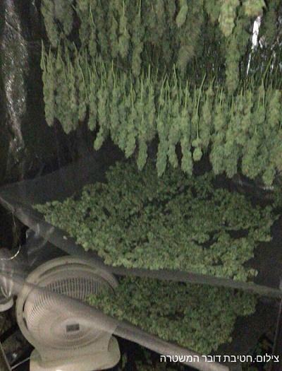 צמחי קנאביס שנתפסו על ידי המשטרה בדירה בקריית ביאליק (3.2.16)