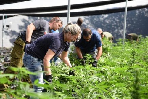 שוטרים קוטפים מריחואנה