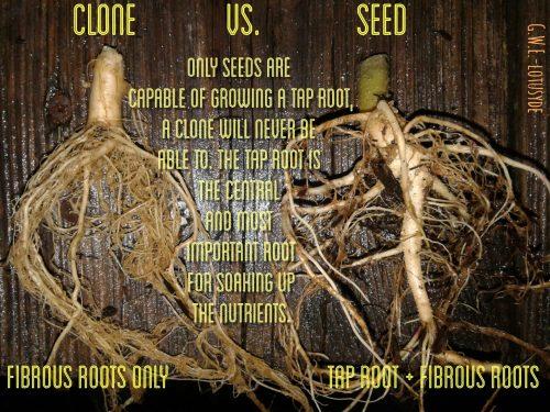 מבט לשורשים: ייחור נגד זרע