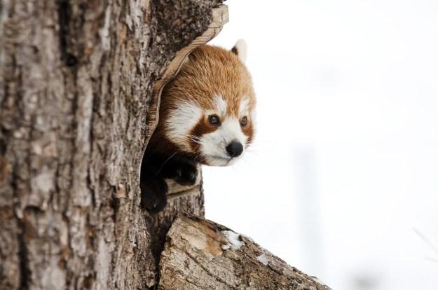 פנדה חמודה מציצה מתוך חור של עץ