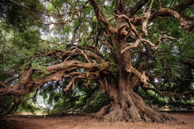 עץ עתיק . בא בשנים