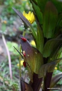 Feuerkäfer an Feuerlilie
