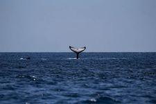 Características de la ballena azul