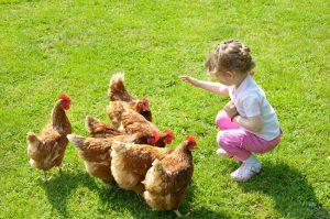 høns i haven som kæledyr