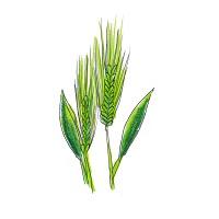 129.barley-grass