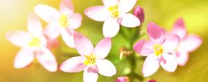 Centaury Tausendgüldenkraut Extreme Beeinflussbarkeit Lemon Pharma Original Bachblüten