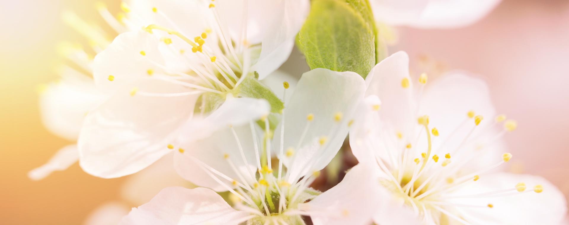 Crab Apple Holzapfel Verzagtheit und Verzweiflung Lemon Pharma Original Bachblüten