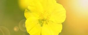 Rock Rose Gelbes Sonnenröschen Angst und Sorge Lemon Pharma Original Bachblüten