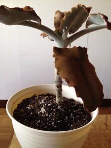 葉っぱも枝も幹も産毛でフワフワ かわいい観葉植物の名前は?007