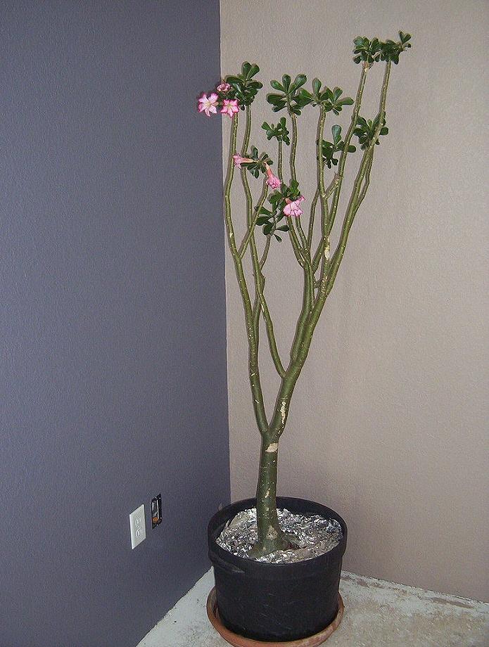 お部屋の角のスペースに背の高いアデニウムを飾る
