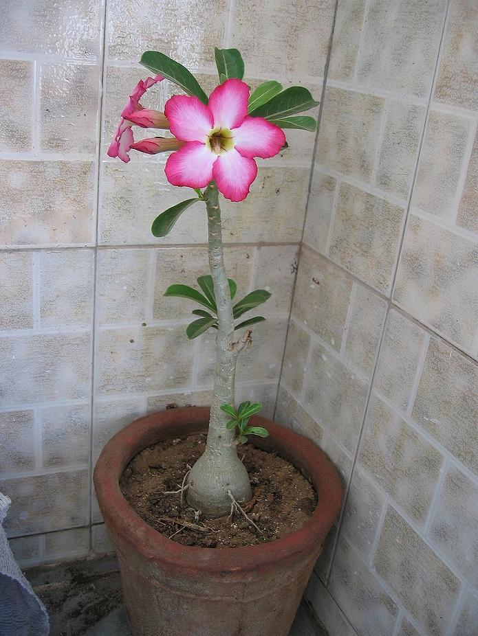 ハイビスカスのような花を咲かせてくれる砂漠のバラ