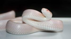 significado de sueño con serpiente blanca
