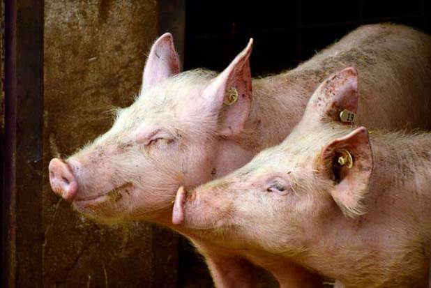 Soñar con cerdos o puercos