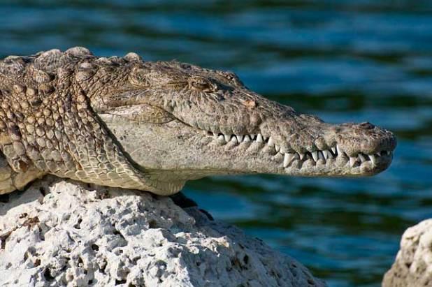 Soñar con cocodrilos en el mar