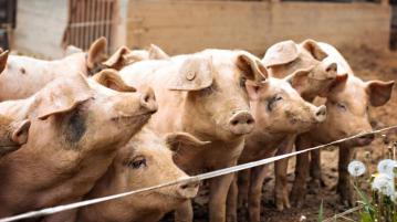 Заклаха 2 551 прасета в областта