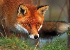 Τα αλεπουδάκια και η αλεπού