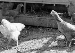 Το ακέφαλο κοτόπουλο που λέγεται Ελλάδα…