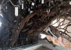 Με το μεγαλύτερο πουρνάρι στον κόσμο και το αρχαιότερο ελαιόδεντρο παγκοσμίως, η Ελλάδα γιορτάζει σήμερα την Παγκόσμια Ημέρα Δασών