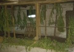 Το θερμοκήπιο ήταν φυτώριο για χασισοκαλλιέργεια