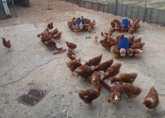 Πτηνοτροφική μονάδα στην Πρώτη Σερρών παράγει αβγά με …φασκόμηλο