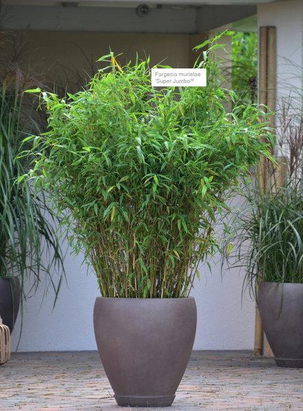 Asiaterrasse  XXL Pflanzen