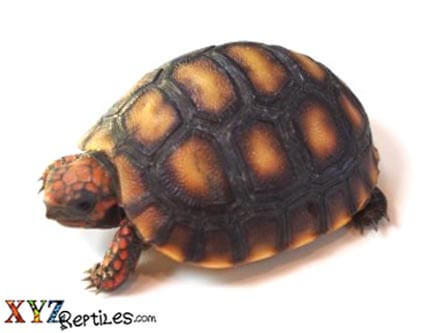 red footed tortoise for