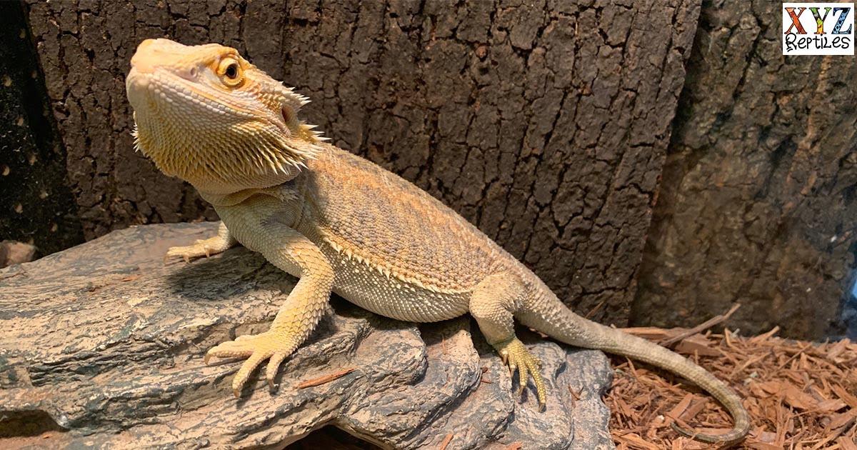 proper bearded dragon lighting will