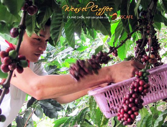 Lựa chọn những quả cà phê chín đỏ, chất lượng tốt nhất
