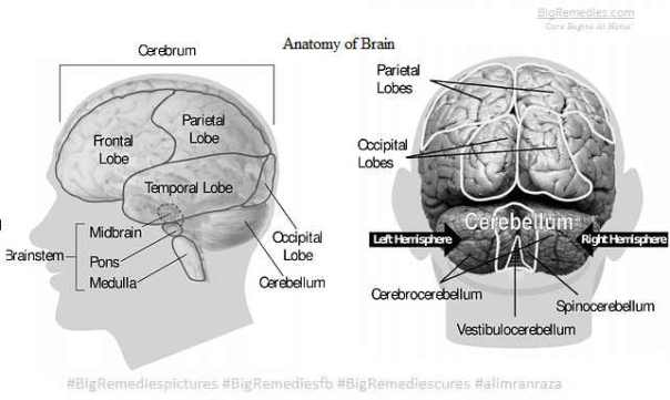 anatomy-of-brain-#BigRemediespictures