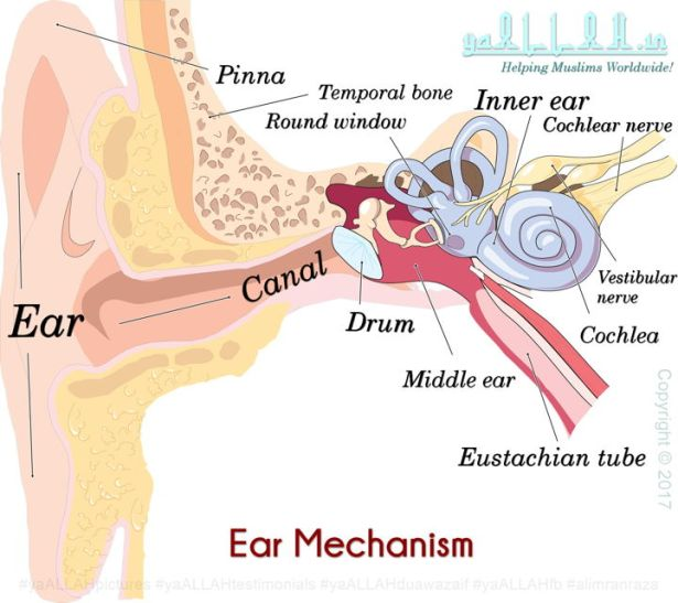Ear-mechanism-inside-diagram-eardrums-canal-yaALLAH-190717