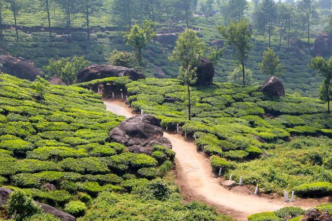 Kérala chemin traversant une plantation de thé
