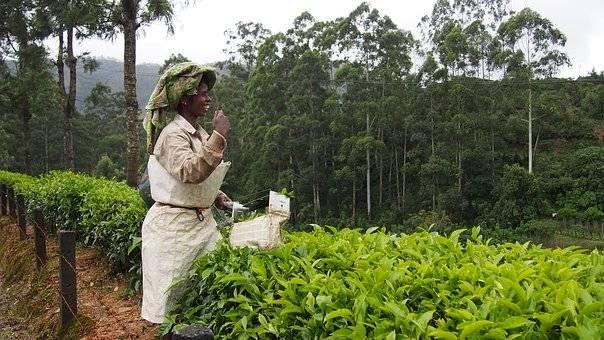 Kérala dame qui cueille des feuilles de thé
