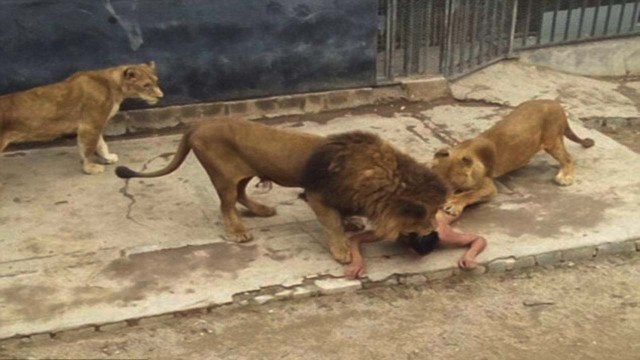 Lion kills man