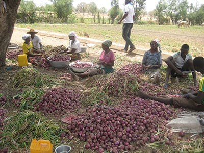 Northern farmers lament as onions rotten over refusal to supply to South