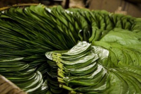 10 Health benefits of chewing Betel leaves
