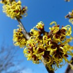 Beauty benefits of witch hazel