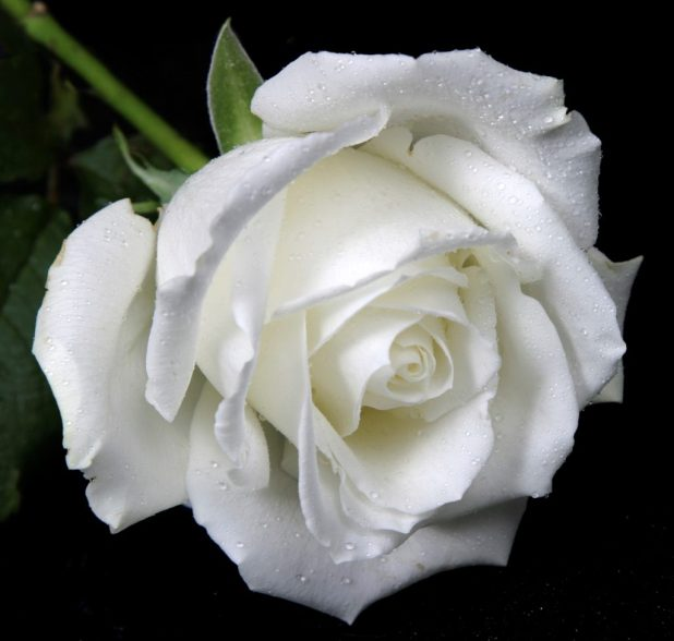 White Rose, White Flowers